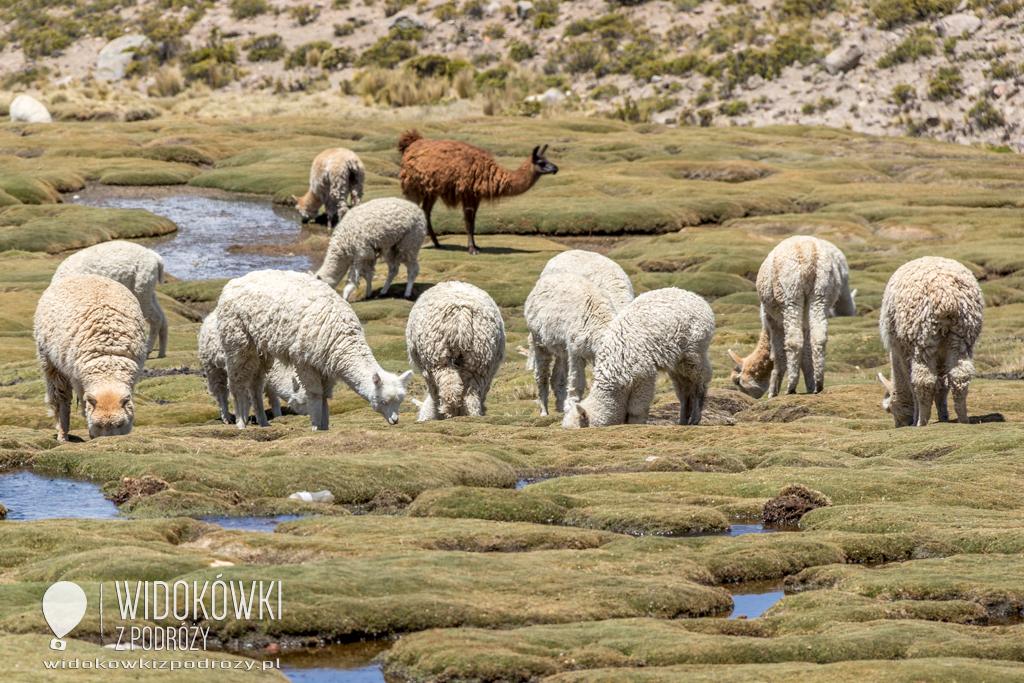 Lamy, alpaki, wikunie i gwanako, czyli andyjskie Camelidae