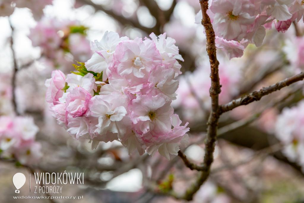 """""""Tylko nie wisienka…."""", czyli Japonia i Święto Kwitnącej Wiśni"""