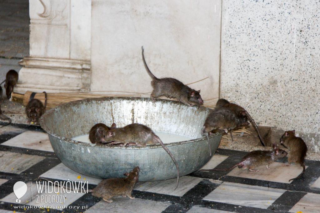 Indie – Świątynia Szczurów Karni Mata