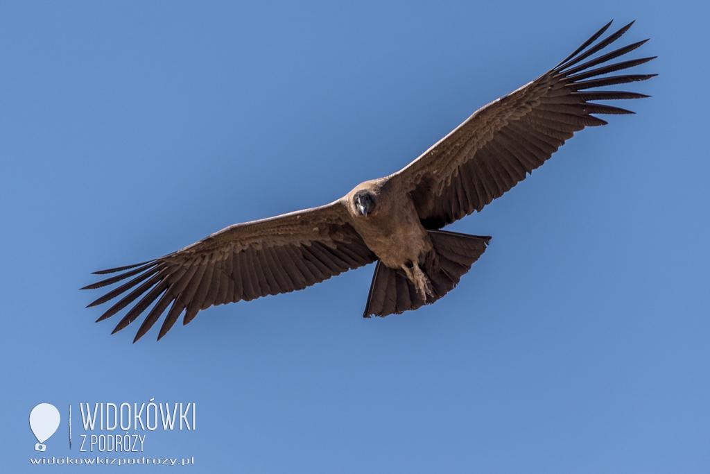 El condor pasa, czyli polowanie z obiektywem na ptaka